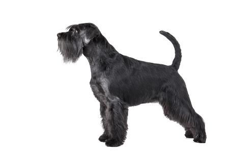 miniature breed: Schnauzer de pie sobre un fondo blanco en el estudio
