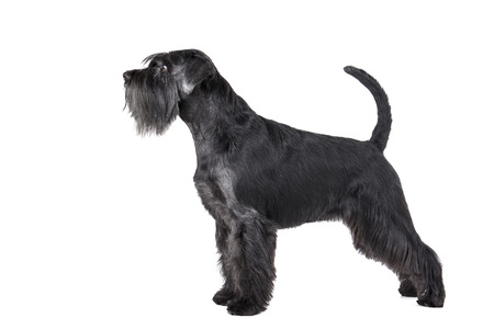 Schnauzer standing on a white background in studio