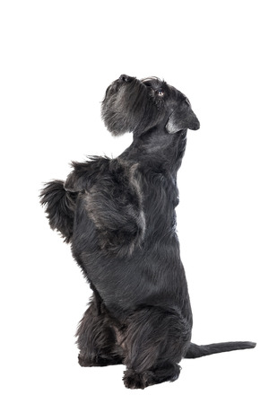 Dog (Schnauzer) dances on a white background in studio photo