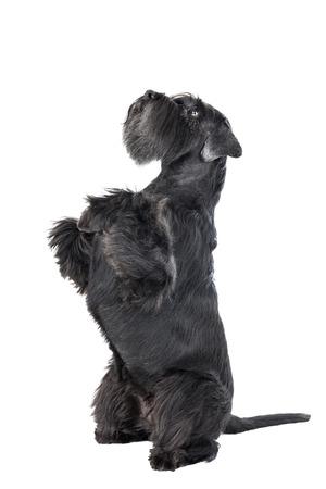 schnauzer: Dog (Schnauzer) dances on a white background in studio