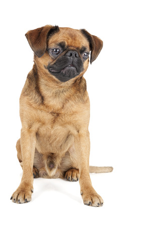 brussels griffon: Petit Brabant on a white background in studio