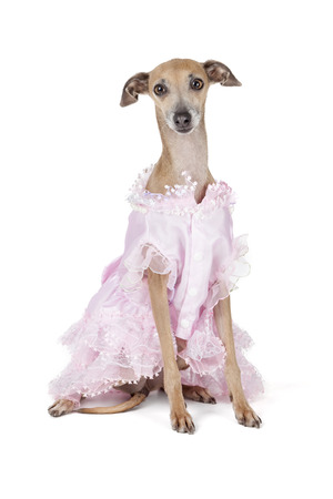 Italian greyhound in a dress on a white background in studio Stock Photo - 23320301