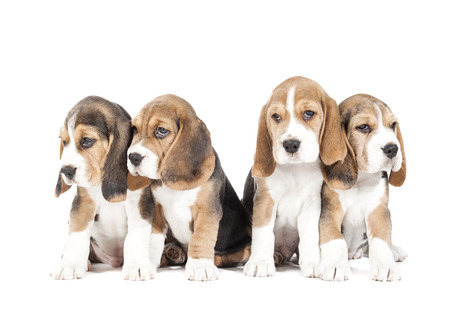 beagle: Four beagle puppy isolated on a white background in studio