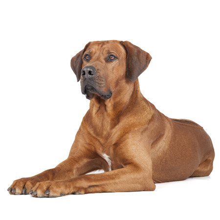 Rhodesian Ridgeback portrait on a white background Stock Photo