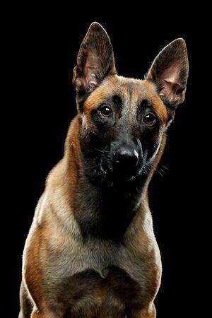 Dog breed Malinois in the Studio