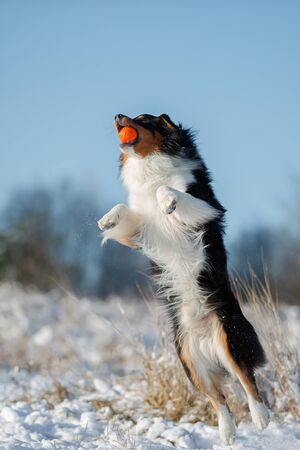 A dog of the Australian shepherd breed plays in the snow