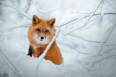 Red Fox hunts in the snow in winter. Sly huntress in the snow