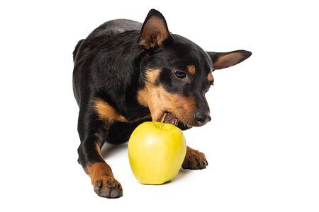 Cute Zwergpinscher puppy with an Apple on a white background.