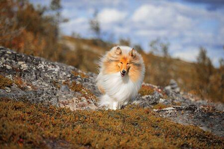 Scottish shepherd on a beautiful background