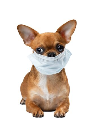 Chihuahua dog in a medical mask on a white Stock Photo