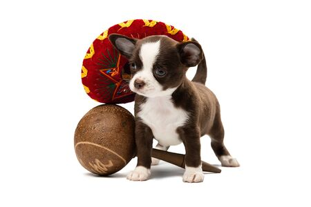 Cute Chihuahua puppy in a sambrero and with maracas.