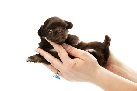 Cute Chihuahua puppy on a white background.