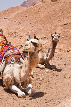 Camels sitting in the desert Stock Photo - 13549889