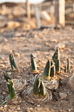 Sprouting flowers in the ground in the ancient city of Paphos, Cyprus photo
