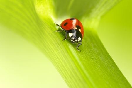 close up of a ladybug on a green stalk  photo