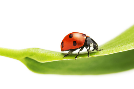 close up of a ladybug on a green leaf photo