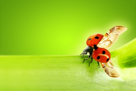 close up of a ladybug taking flight  photo