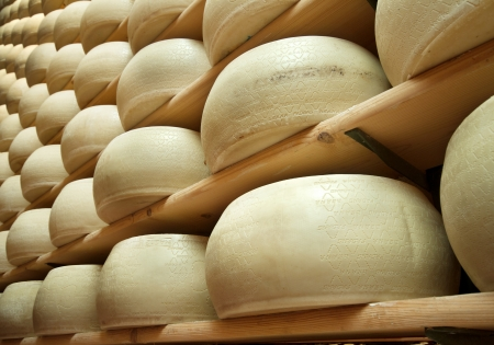 factory farm: heap of freshly made wheels of cheese