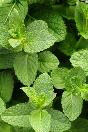 close up of green and fresh mint leaves photo
