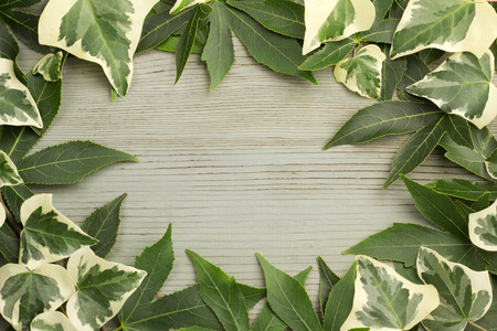 ivy and maple leaves on aged wood background photo