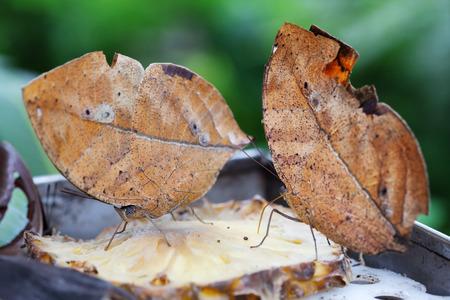 dead leaf: two oak leaf butterflies on a slice of pineapple Stock Photo