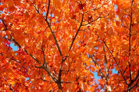 the dry leaves: background of lush autumn leaves in the sunlight