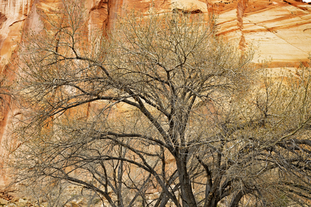 tree detail: detail of leafless tree in front of a sandstone wall
