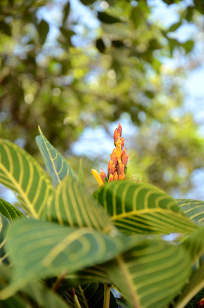 Rude yellow and red flower ready to be pollinated in the middle of leaves