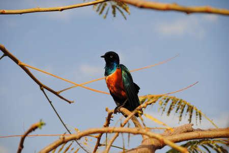 superb: superb starling bird Stock Photo