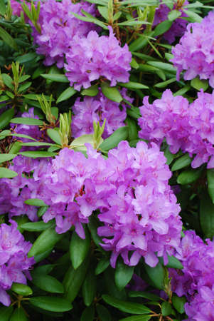 purple flowers: rhododendron