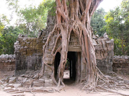 Siem Reap, Cambodia, April 8, 2016: A large tree grows over the stone entrance to a temple in the Khmer temple complex of Angkor