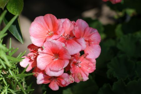 Pink Geranium Stock Photo