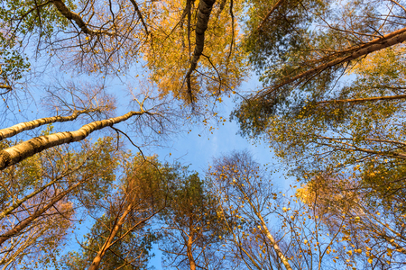 Tall trees forest viewed from below.