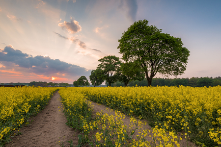 Yellow rape field in the evening. Spring time. Poland