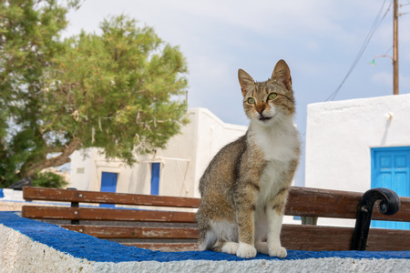 Street cat in Mandrakia village on Milos island, Cyclades, Greece.