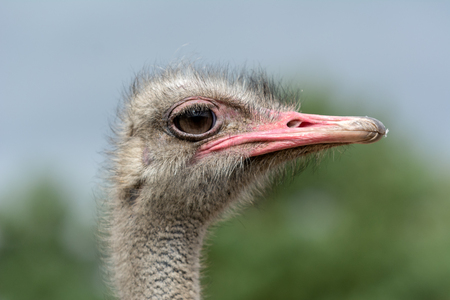 The head of an ostrich closeup on a blurred background. Side view. Фото со стока