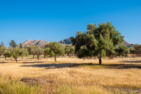 Olive trees in summer day. Mediterranean olive field on Rhodes Island, Greece.