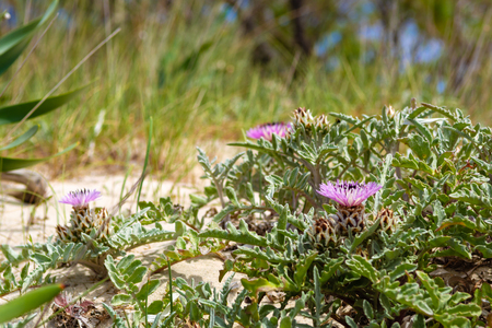 Flowers growing on the dunes of Elafanisi beach in Crete, Greece