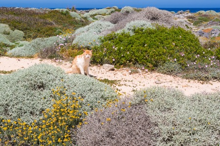 The cat sitting in the dunes and basks in the sun. Stavros beach on Crete island, Greece. Stockfoto