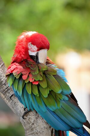 Red ara parrot, colorful macaw - birds sitting on the branch.