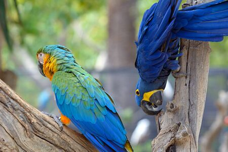 Blue green parrots, colorful birds sitting on the branch. Stock Photo