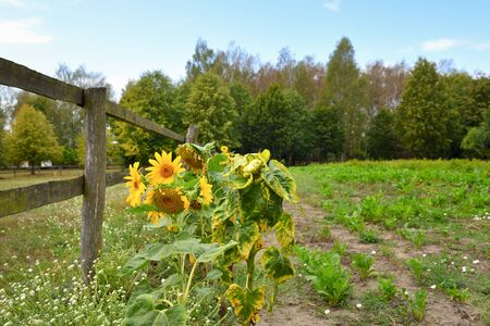 Sunflowers growing in the garden on a summer day. Poland Stock Photo