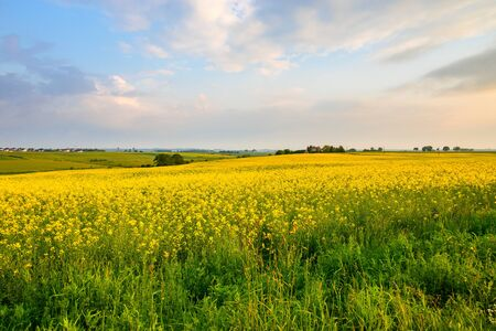 Rural landscape, view of the blooming rapeseed. Poland Standard-Bild