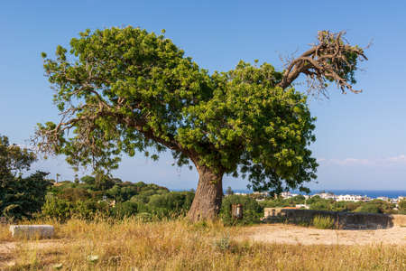 Old olive tree growing on Greek island. Rhodes, Greece