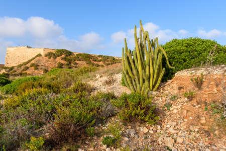 Tropical high cactus growing on rocks. Menorca, Baleares, Spain