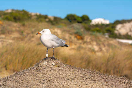 Seagull is standing on a beach umbrella. Menorca island, Spain Banque d'images