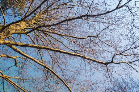 Spring tree against the blue sky viewed from below