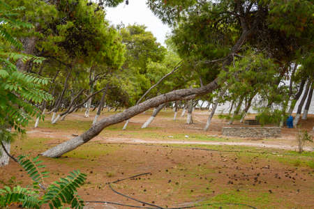 Park in the city of Parikia with leaning trees. Paros Island. Cyclades, Greeece