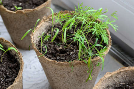 Young green dill sprouts. Indoor gardening lifestyle.