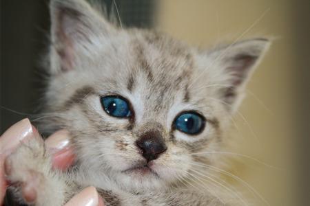 purring: TENDER KITTEN WITH BLUE EYES Stock Photo